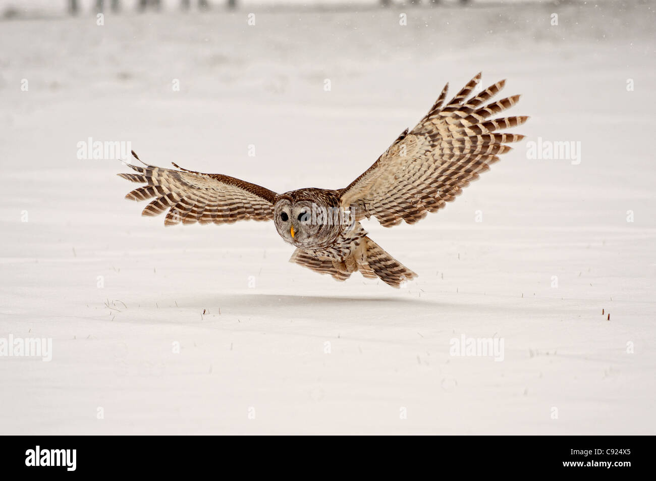 owl landing photos owl landing images alamy. Black Bedroom Furniture Sets. Home Design Ideas