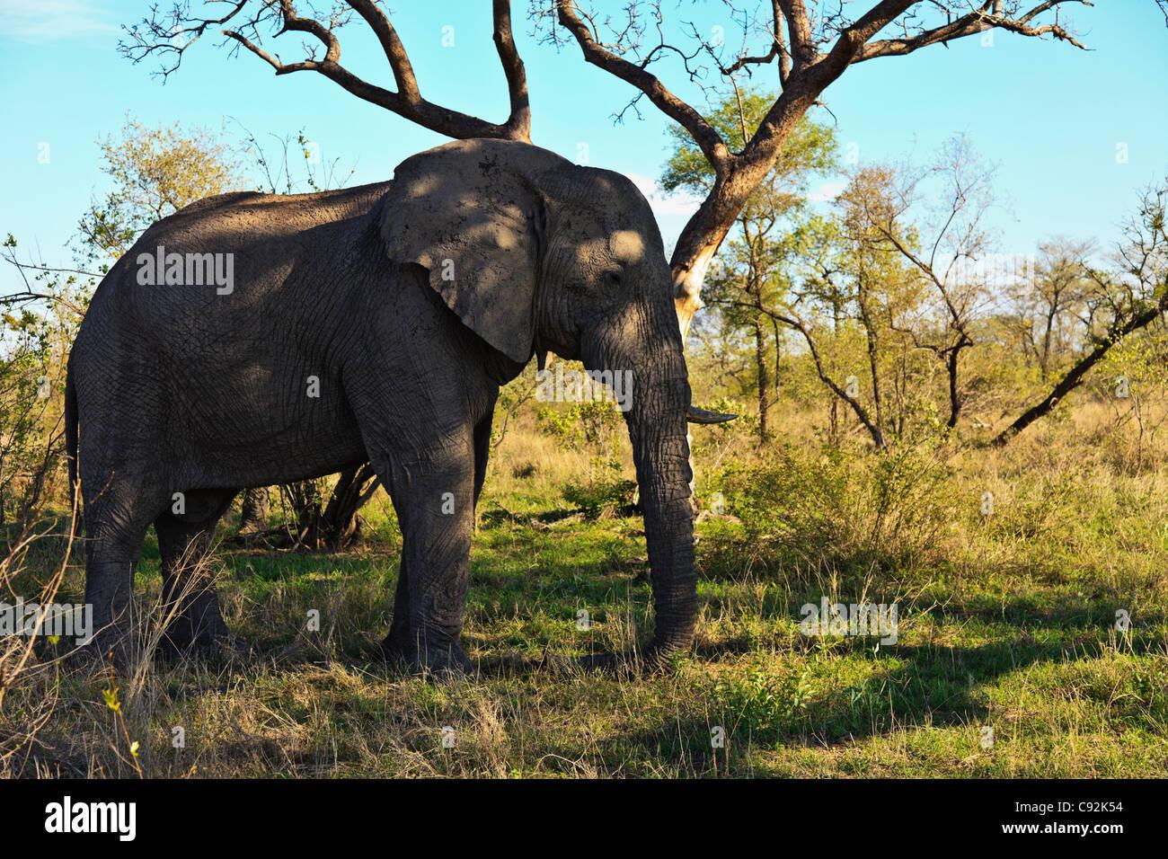 un vieux m le african elephant loxodonta africana debout dans l 39 ombre en vitant le rude soleil. Black Bedroom Furniture Sets. Home Design Ideas