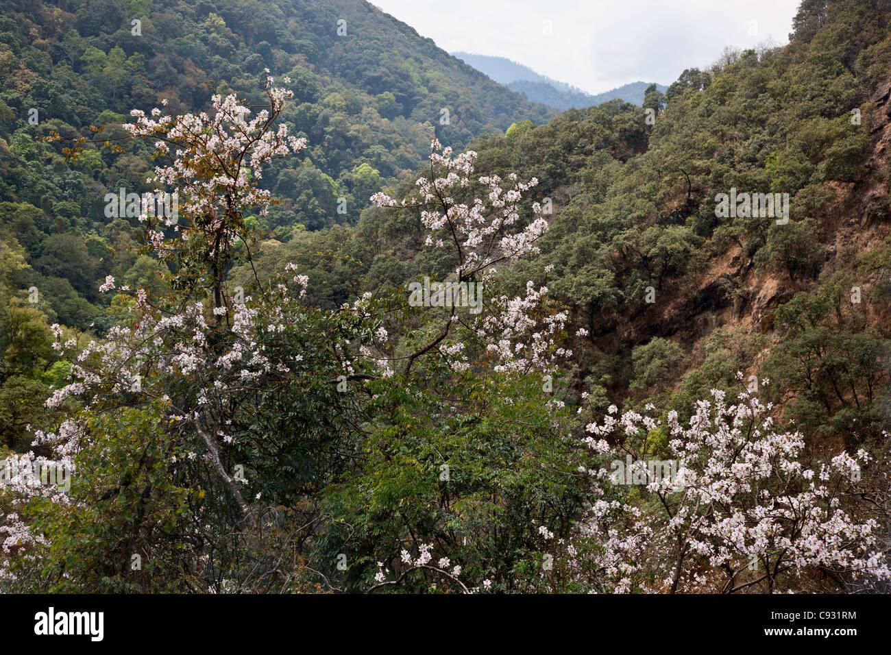 La belle fleur de bauhinia variegata, grandissant dans le Drangme Chhu Trashi Yangstze river valley près de. Photo Stock