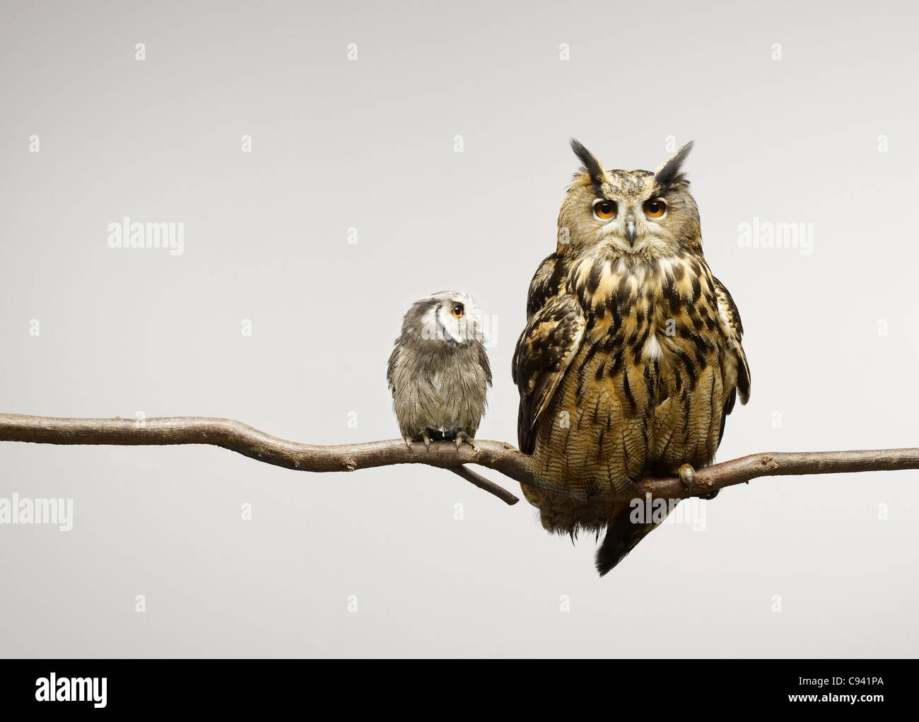 Scop et Eagle hiboux assis sur une branche Photo Stock