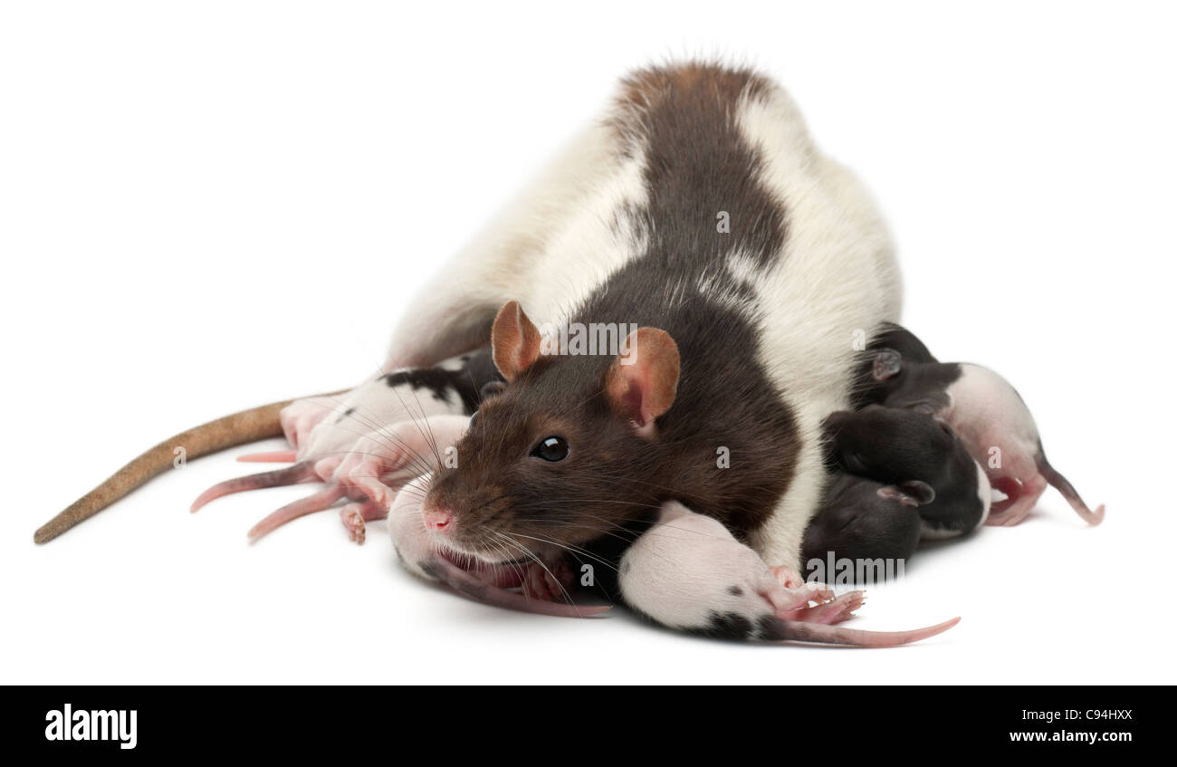 Rat de fantaisie nourrir ses bébés in front of white background Photo Stock