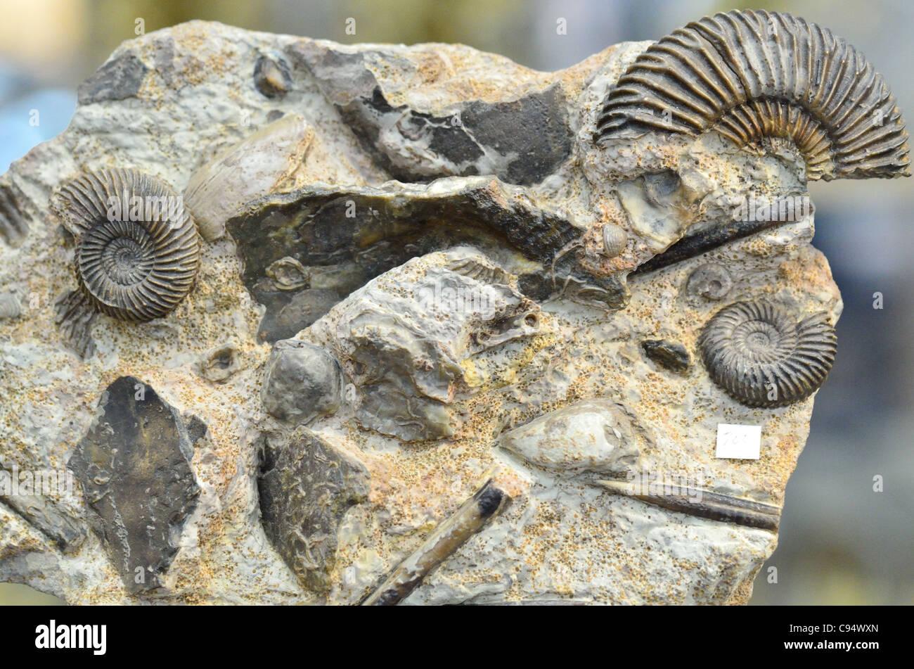 Animaux invertébrés marins fossilisés dans la matrice calcaire. Photo Stock