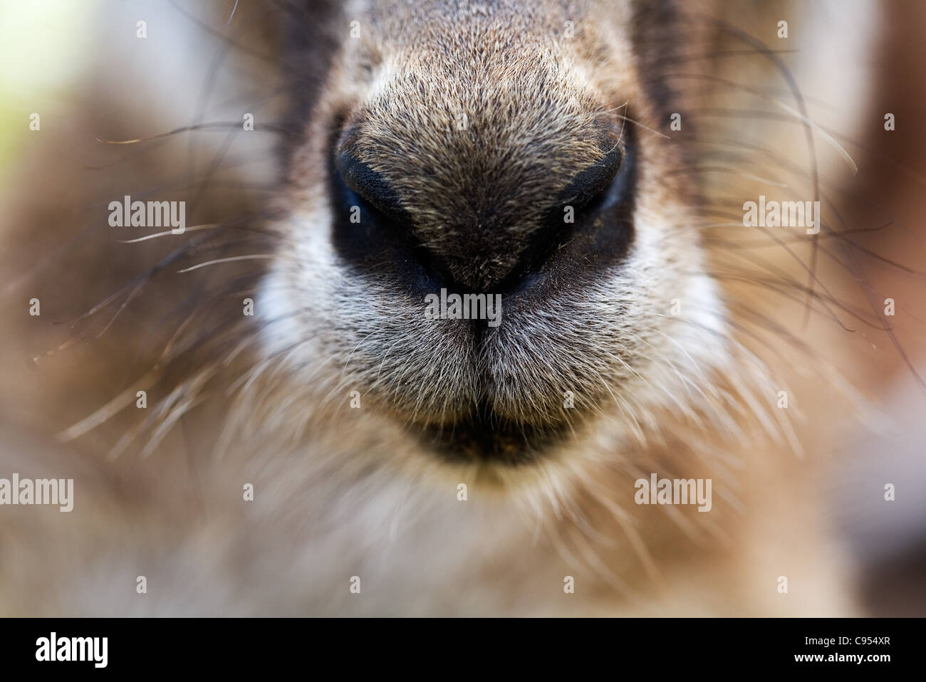 Close-up du nez d'un kangourou gris (Macropus giganteus). Brisbane, Queensland, Australie. Photo Stock