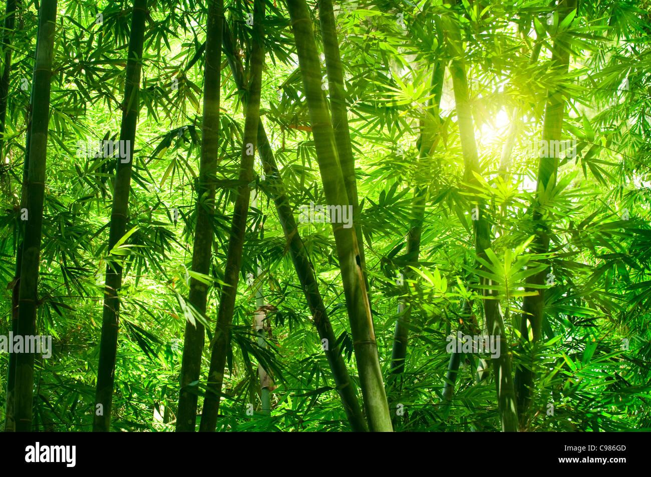 Forêt de bambous d'Asie avec la lumière du soleil du matin. Photo Stock
