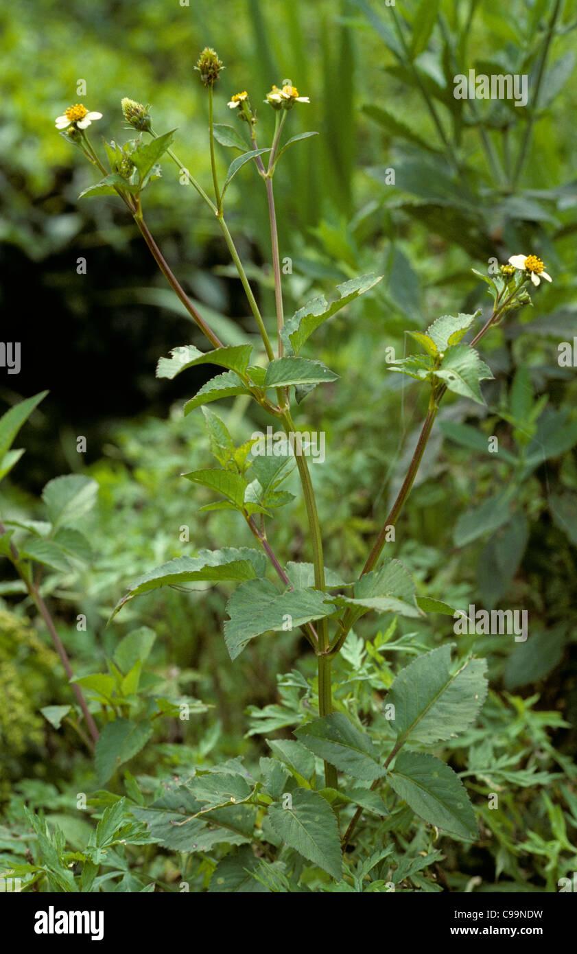 Espagnol de floraison ou aiguille black jack (Bidens pilosa), Malaisie Photo Stock
