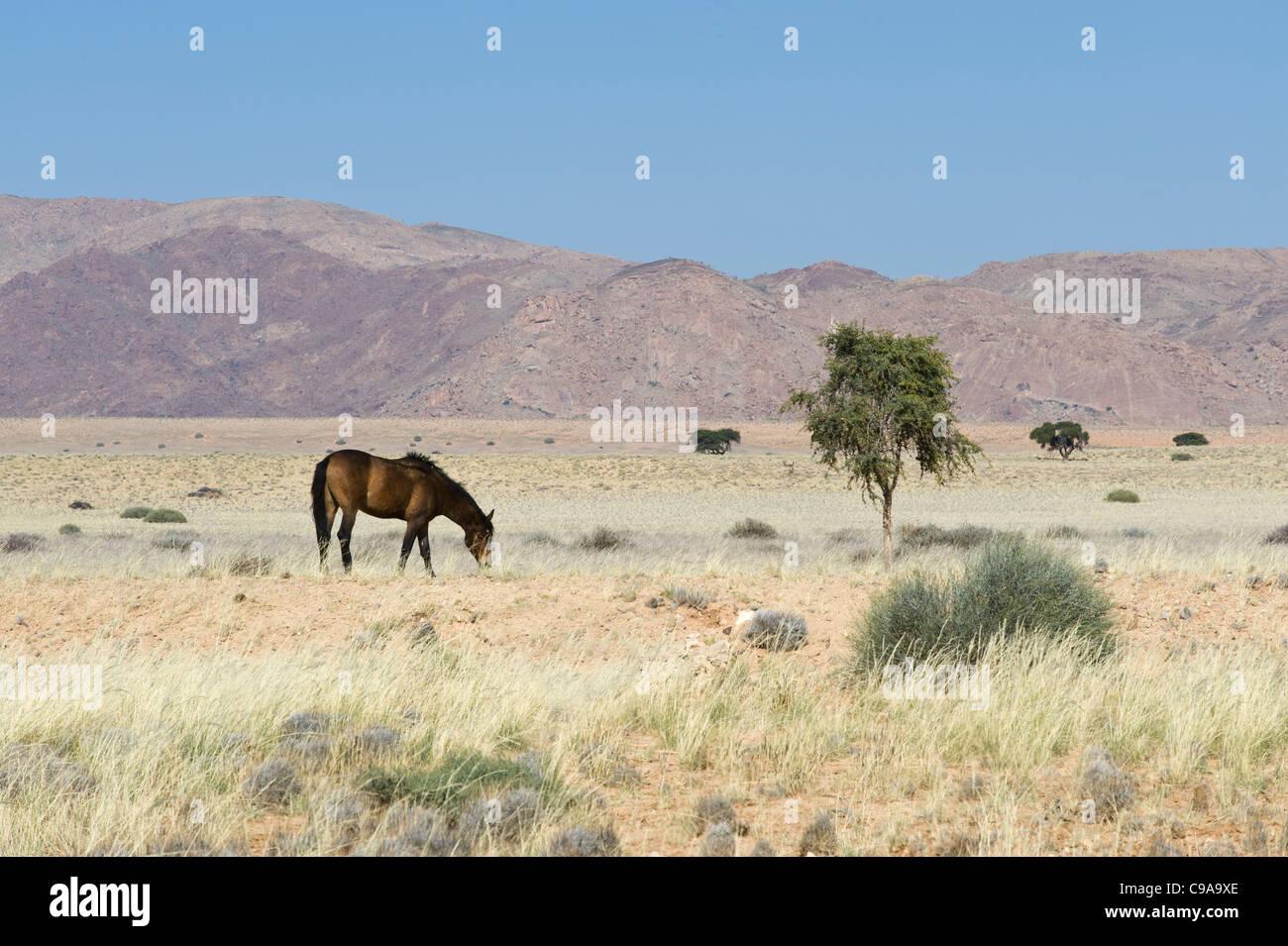 Chevaux sauvages, chevaux sauvages, du désert du namib Namibie région Karas Photo Stock
