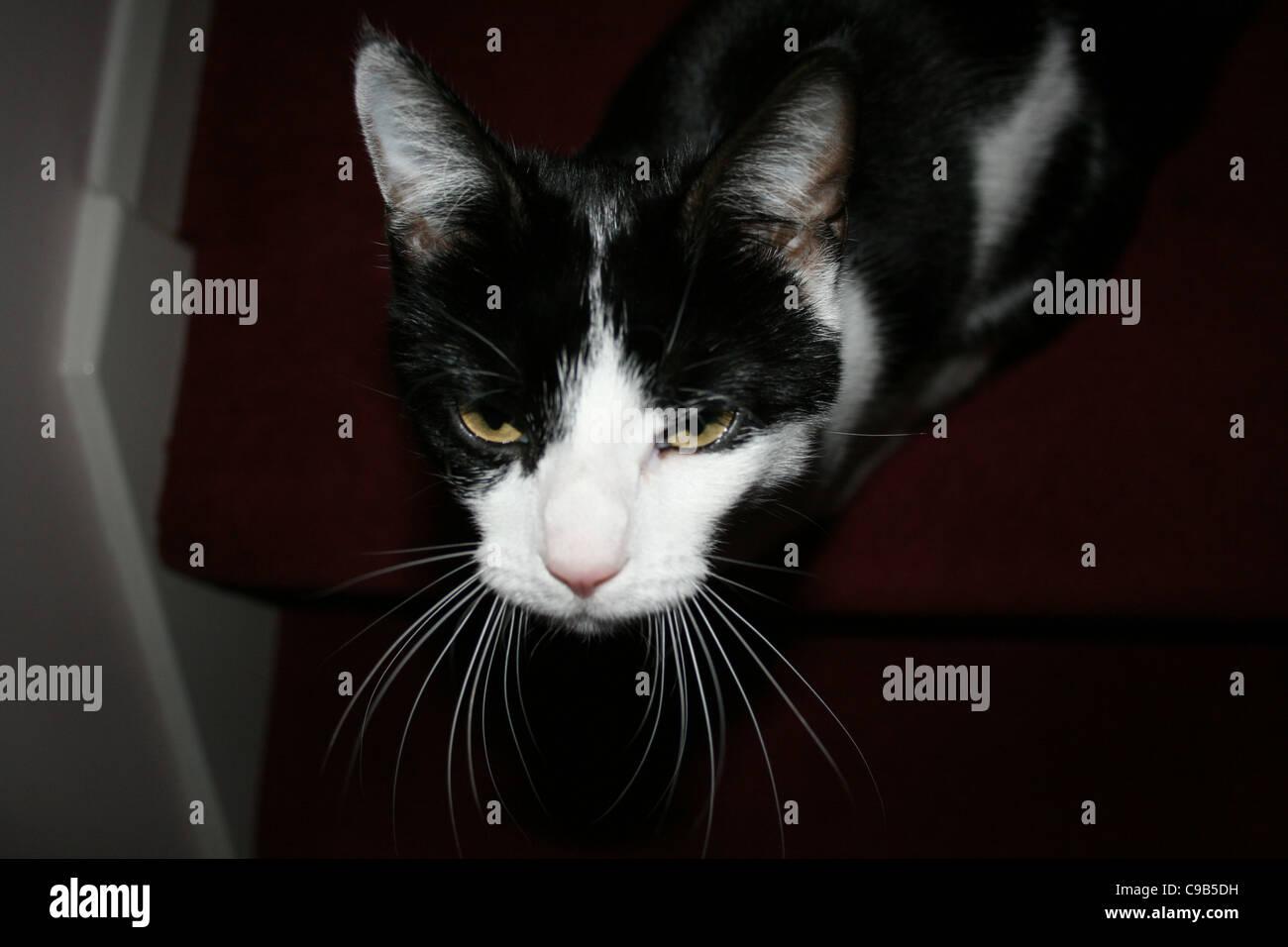 Chat Femelle Noir Et Blanc Sur Rouge Sombre Tapis D Escalier