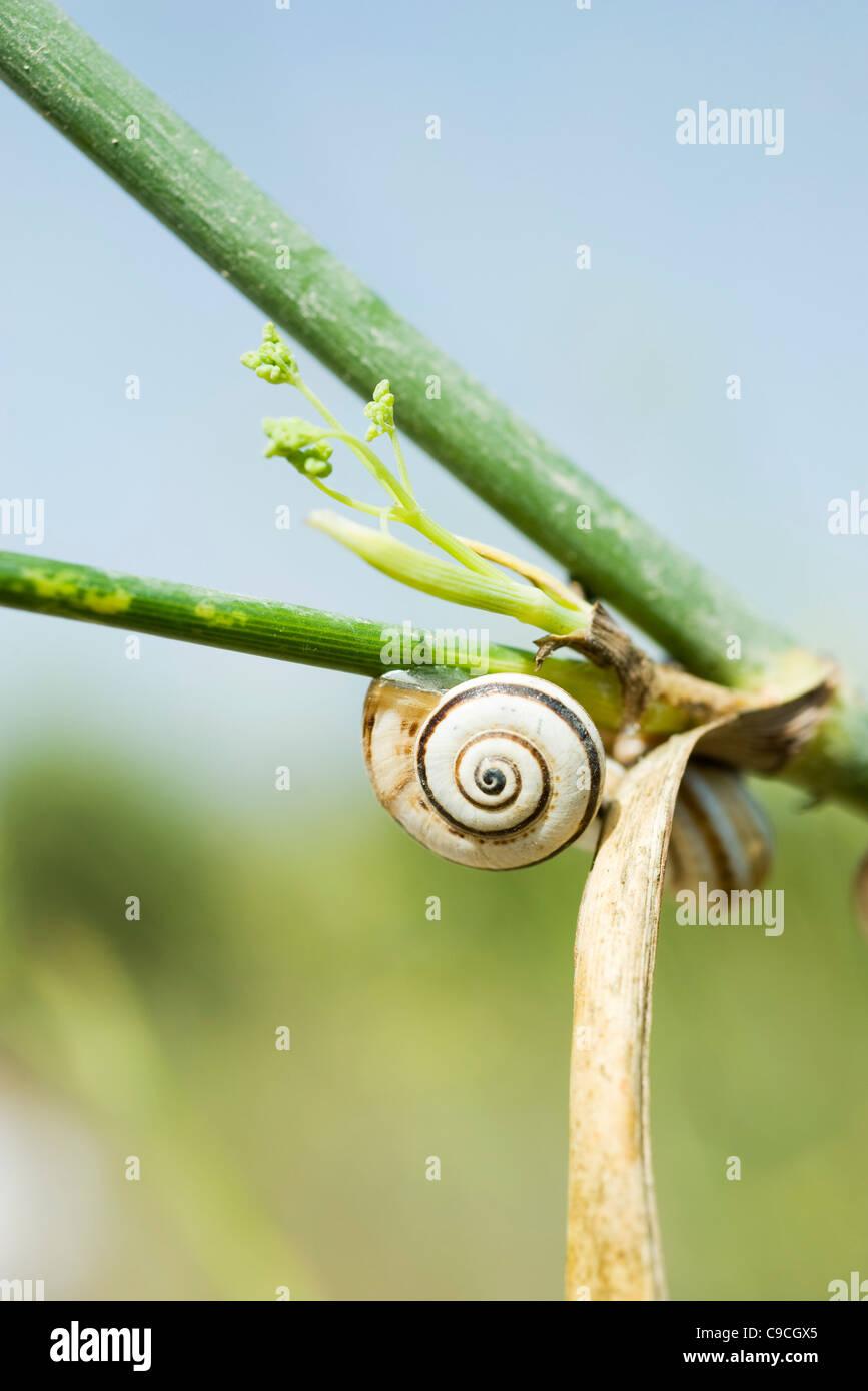 Escargots sur plante Banque D'Images