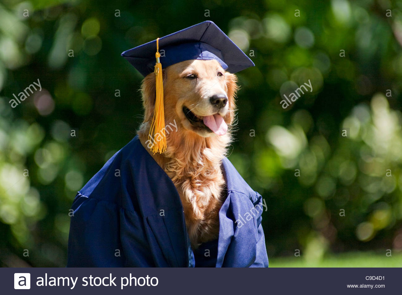 Golden Retriever Dog Graduation Cap Photos Golden Retriever Dog