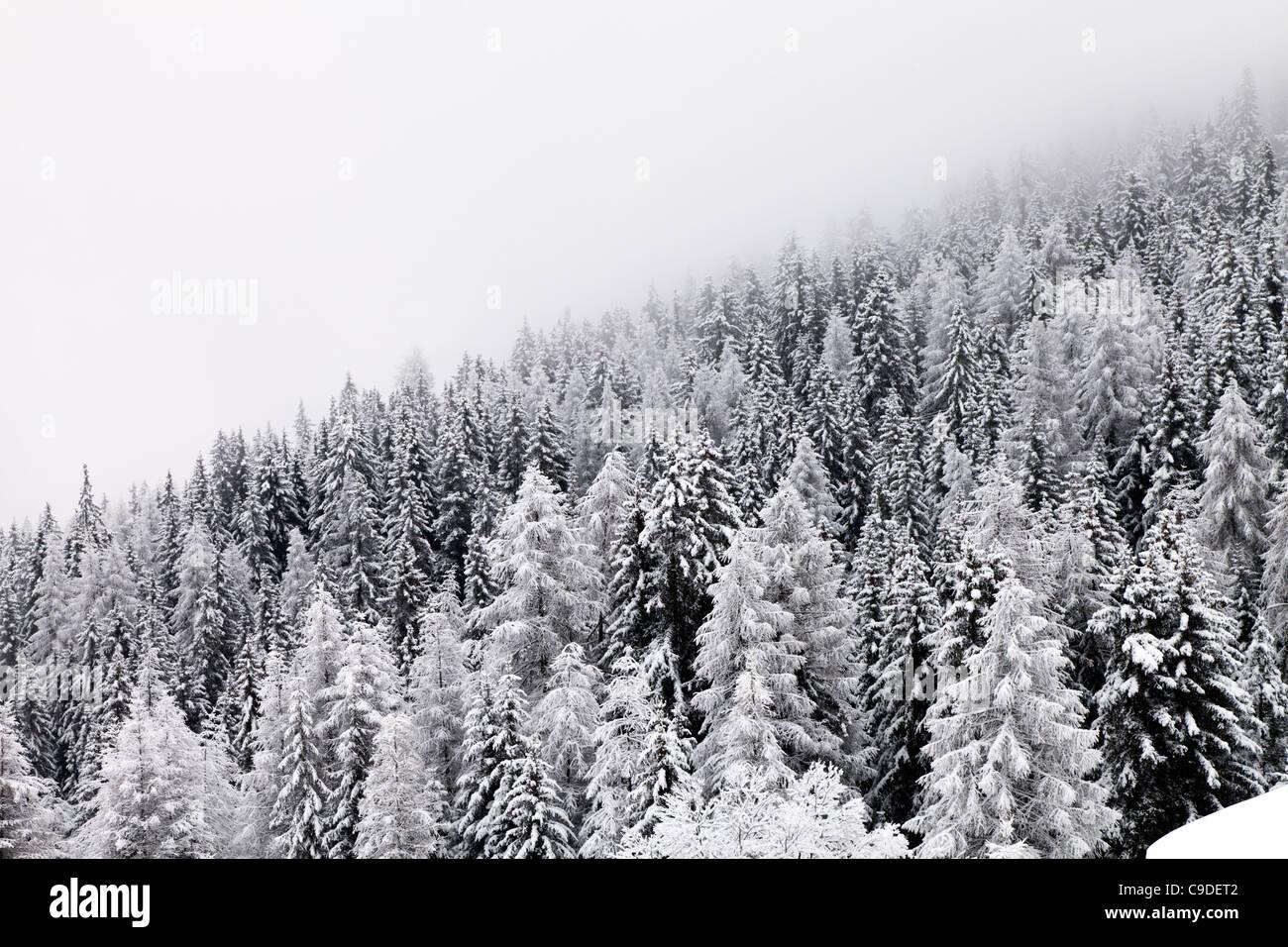 La neige a couvert des pins sur la pente de colline avec brouillard monochrome Banque D'Images