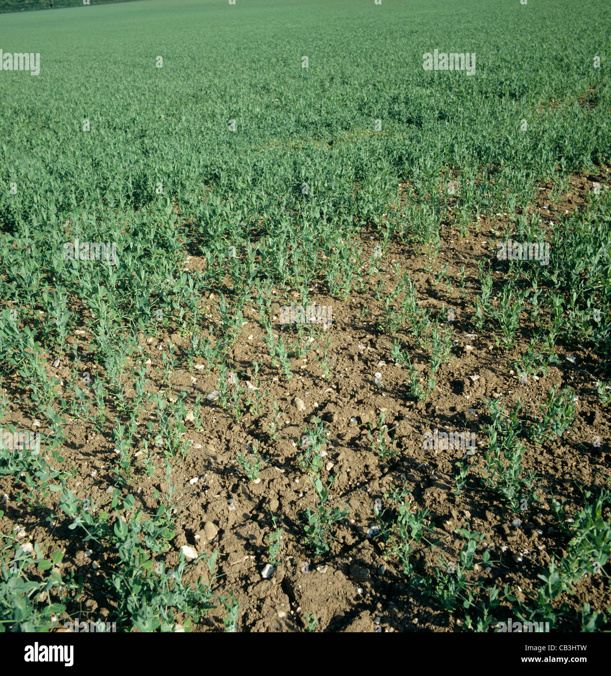Stand de pauvres petits pois causé par une mauvaise germination et manque de vigueur des semences Photo Stock