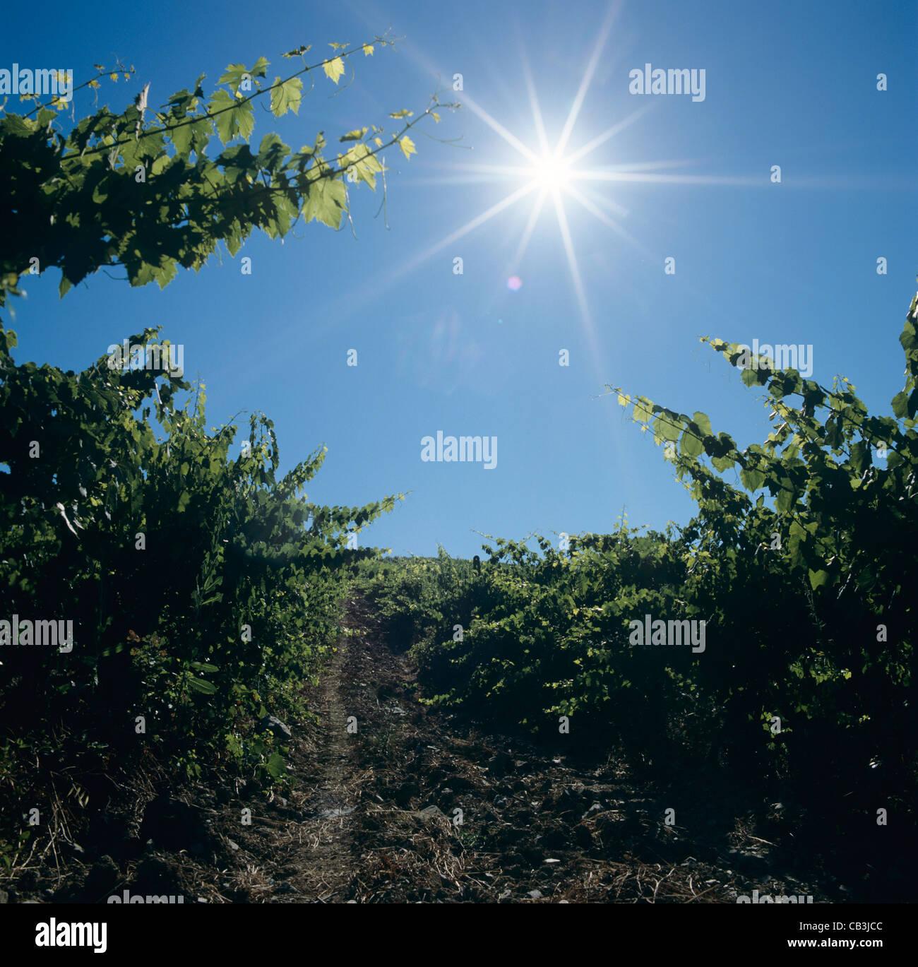 À la recherche dans le soleil levant dans un vignoble de Chianti près de Sienne, en Toscane, Italie Photo Stock
