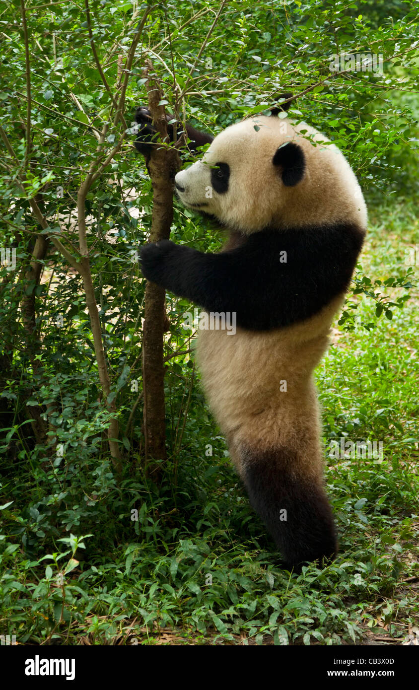 Le Panda Géant, Ailuropoda melanoleuca Panda et centre de recherche de reproduction, Chengdu, Chine République Photo Stock