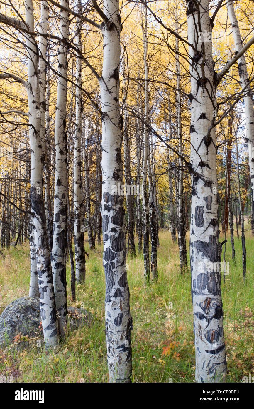 L'écorce du peuplier blanc des arbres dans un pré herbeux en automne au parc national des Montagnes Rocheuses au Colorado Banque D'Images