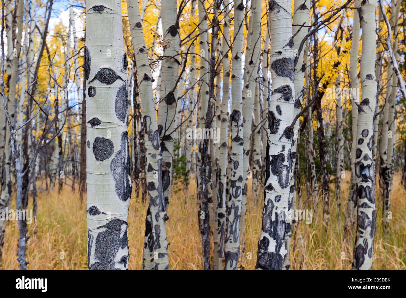 Libre de l'écorce du peuplier blanc des arbres dans un pré en automne au parc national des Montagnes Rocheuses au Colorado Banque D'Images