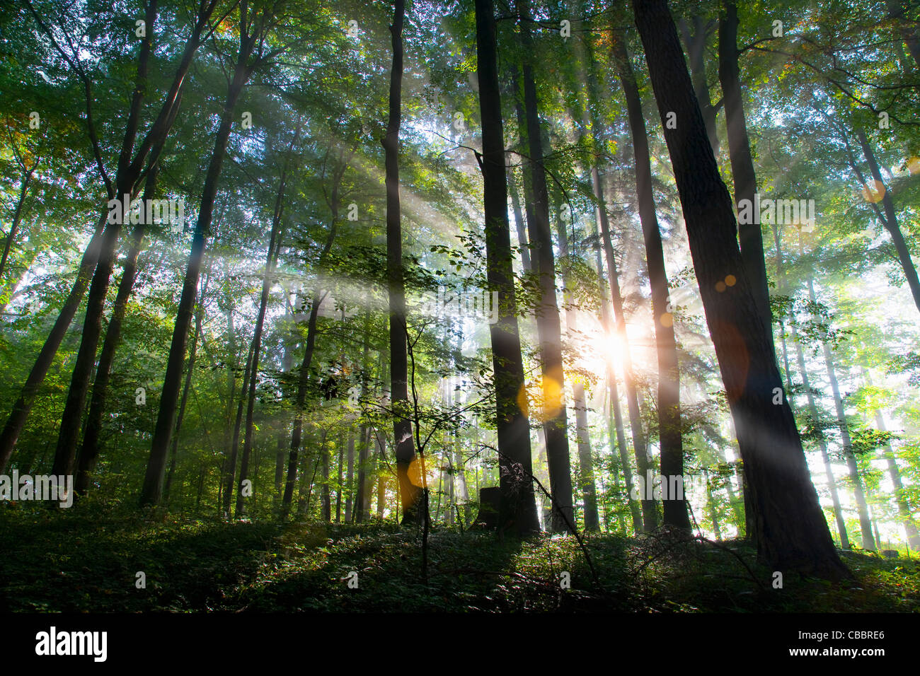 Rayons de soleil brillant à travers forêt Photo Stock