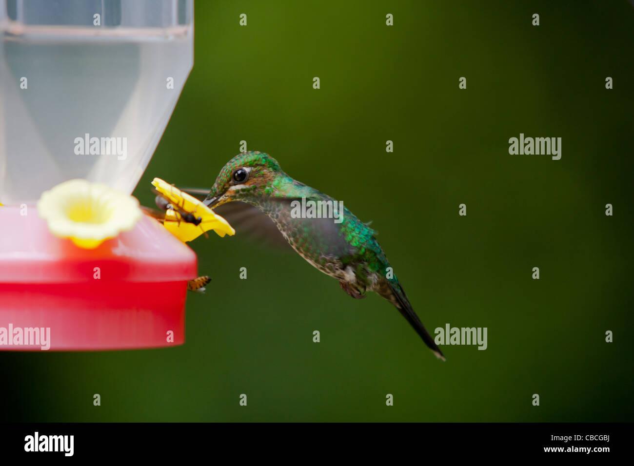 Un livre vert brillant couronné Humming Bird (Heliodoxa jacula) alimentation par chargeur nectar Photo Stock