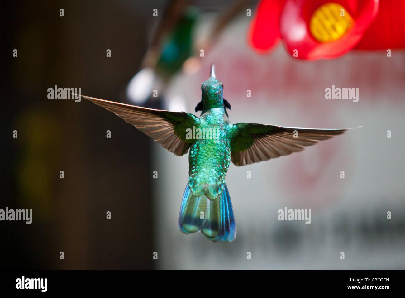 Un hibou violet vert colibri Colibri thalassinus) (convoyeur approchant à Monteverde, Costa Rica Photo Stock
