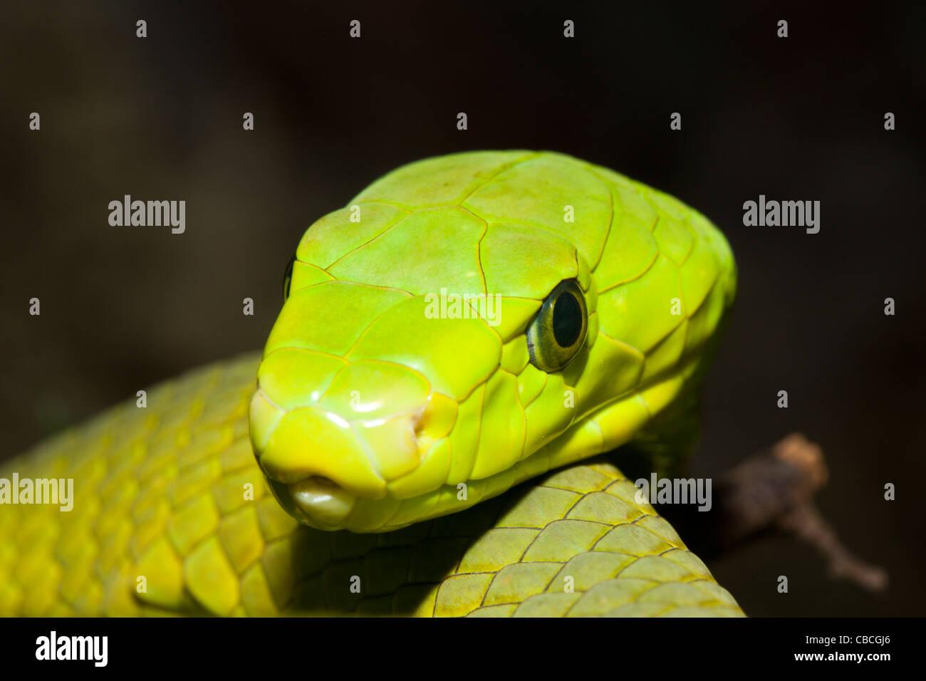 L'Est de l'Green Mamba, Dendroaspis angusticeps, Kenya Photo Stock