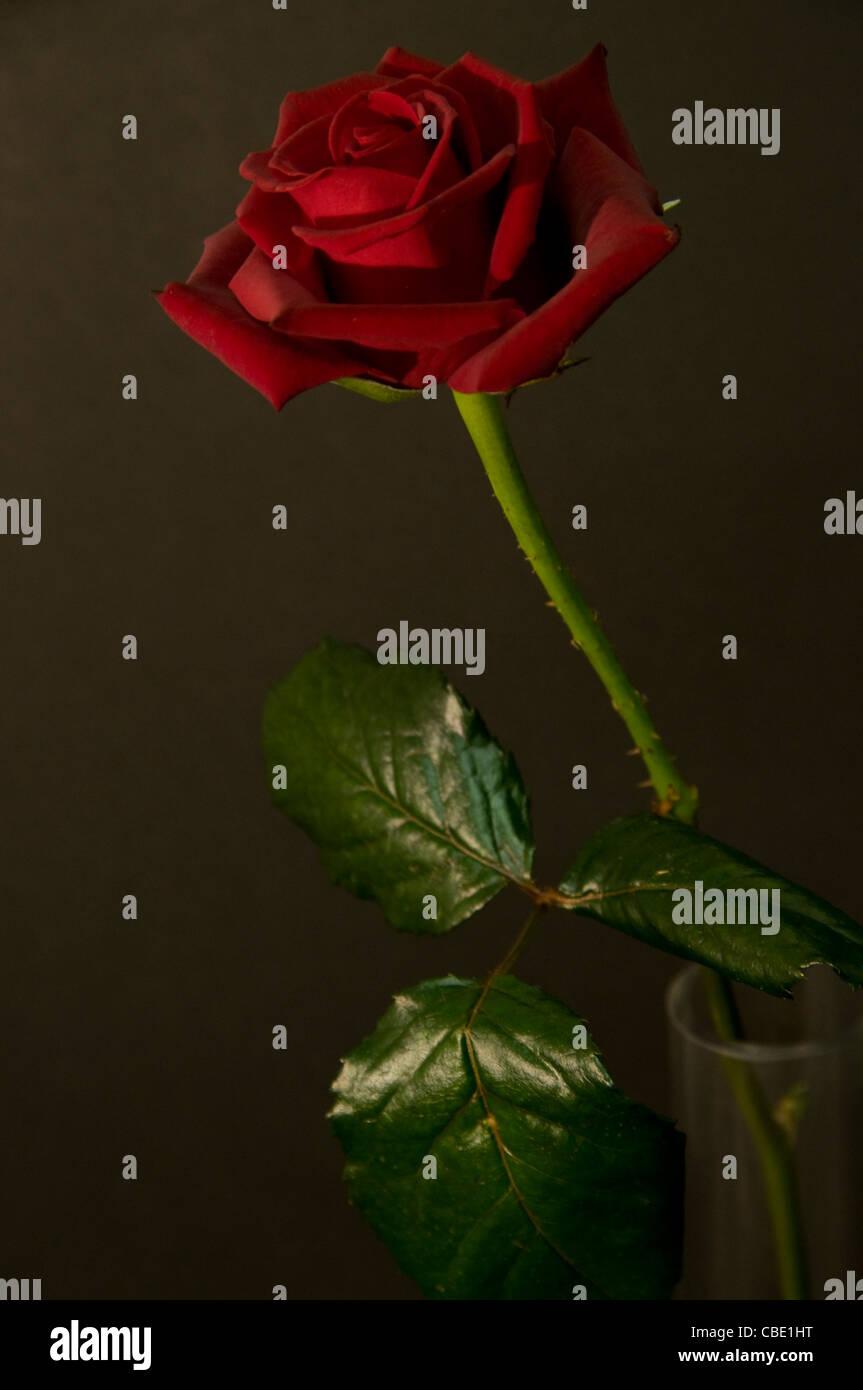 Rose rouge dans un vase avec tige et feuilles vertes sur - Rose avec tige ...