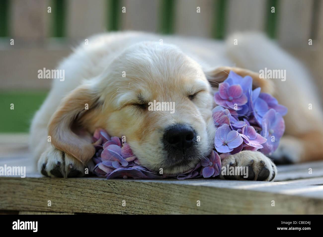 Golden Retriever (Canis lupus familiaris). Chiot dormir sur un Hortensia bleu fleur. Photo Stock