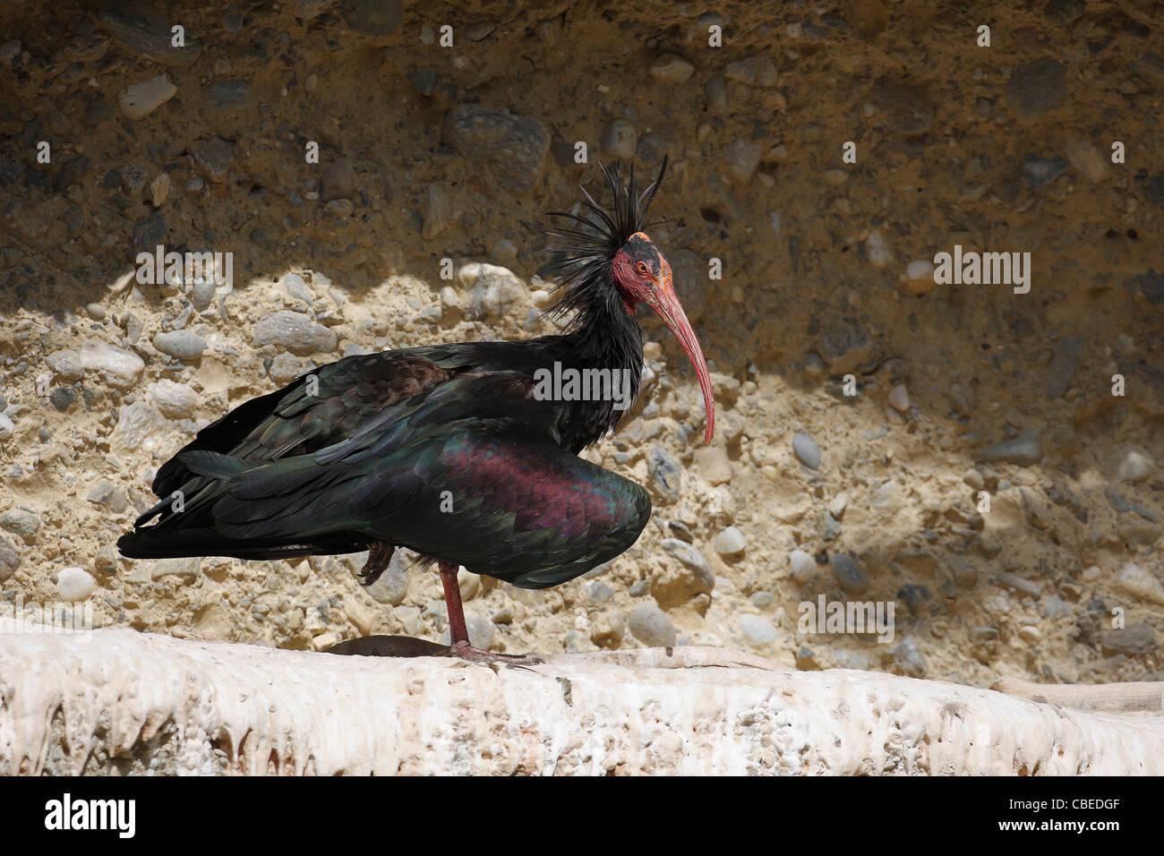 Ibis chauve (Geronticus eremita). Des profils debout sur une barre rocheuse. Photo Stock