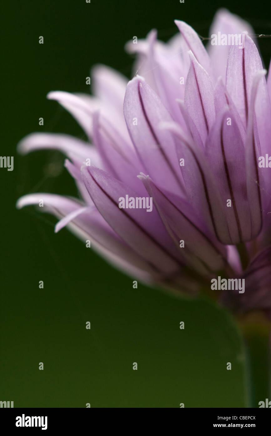 Allium schoenoprasum, ciboulette, fleur pourpre objet arrière-plan vert. Banque D'Images