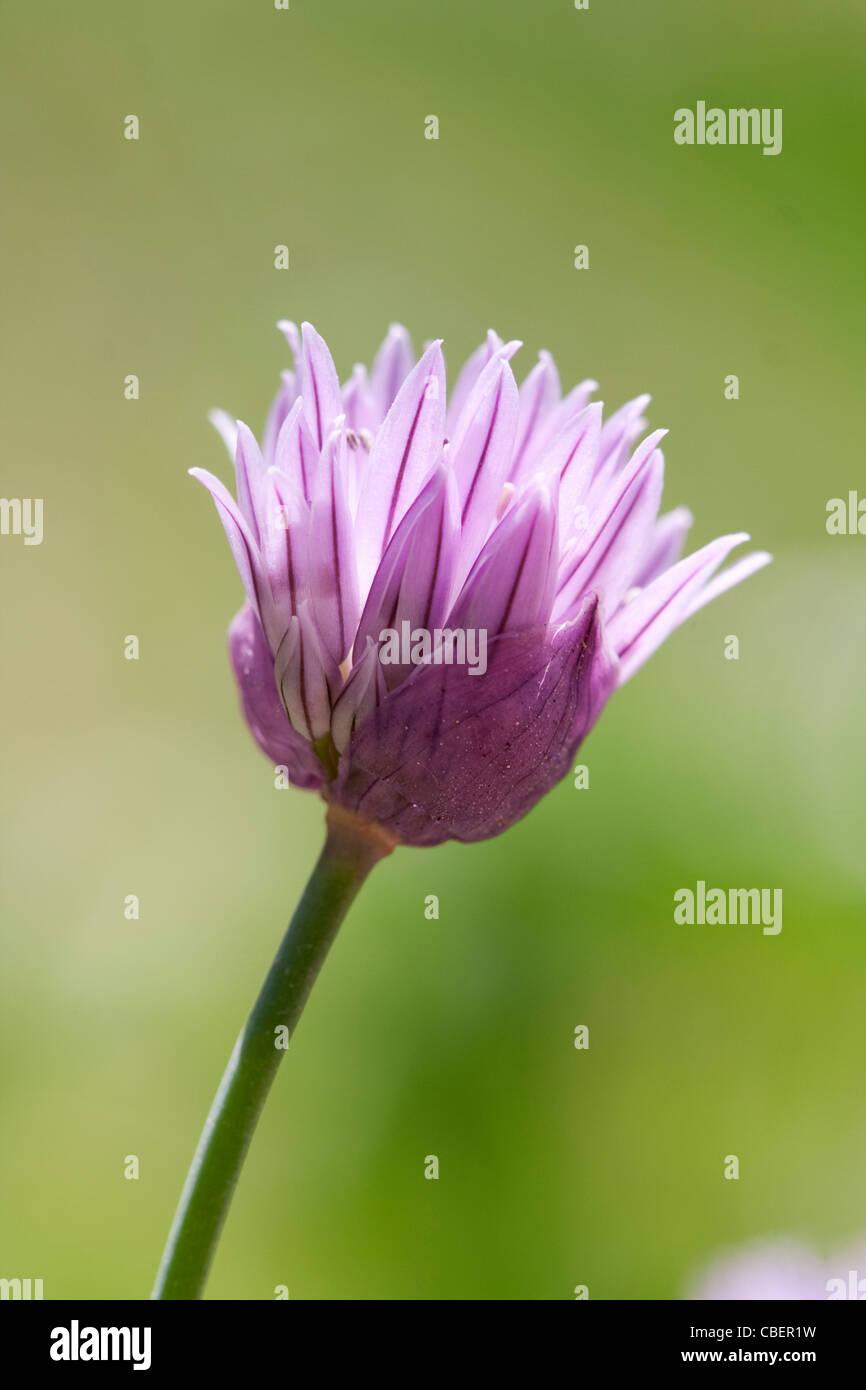 Allium schoenoprasum ciboulette, fleurs de mauve, objet, fond vert. Banque D'Images