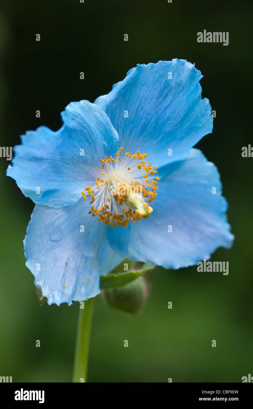 Meconopsis betonicifolia, fleur de pavot bleu de l'himalaya sur un fond vert. Photo Stock