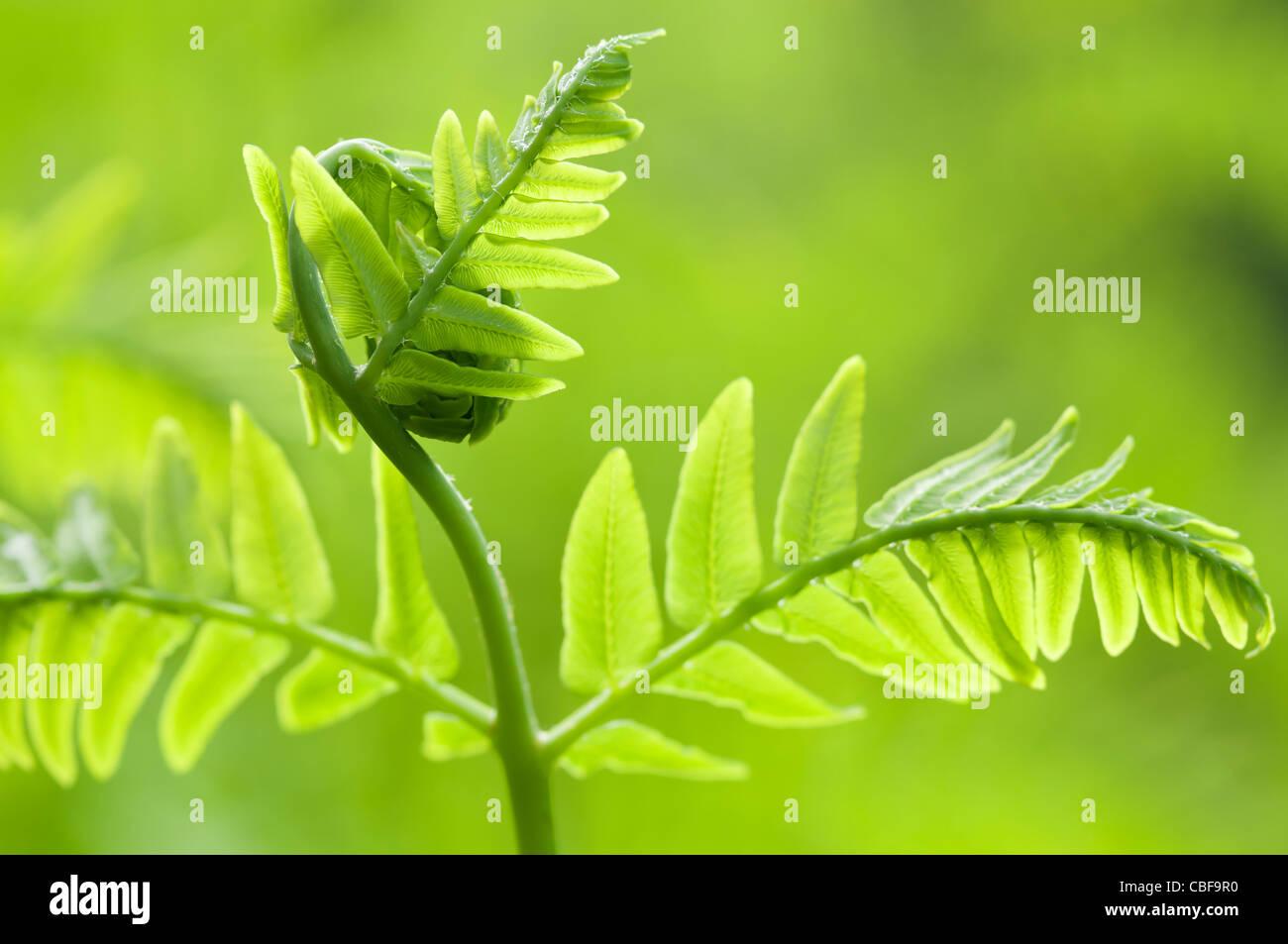 Osmunda regalis, Fern leaf déployant, Vert l'objet, fond vert. Photo Stock