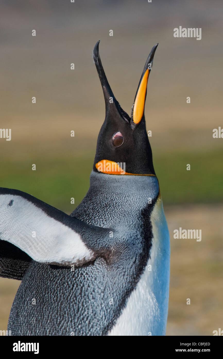 Manchot royal Aptenodytes patagonicus, barrissements,, la plaine de Salisbury, la Géorgie du Sud, Sud de l'océan Photo Stock