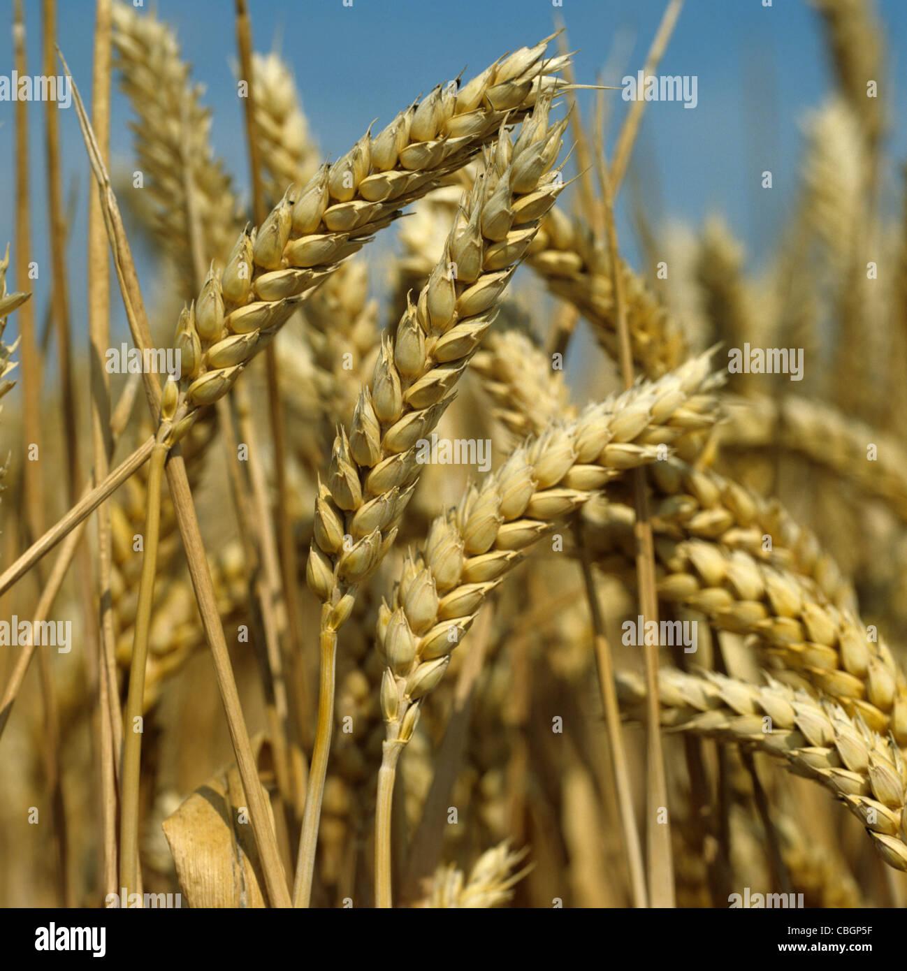 Épis de blé mûrs contre un ciel d'été bleu Photo Stock