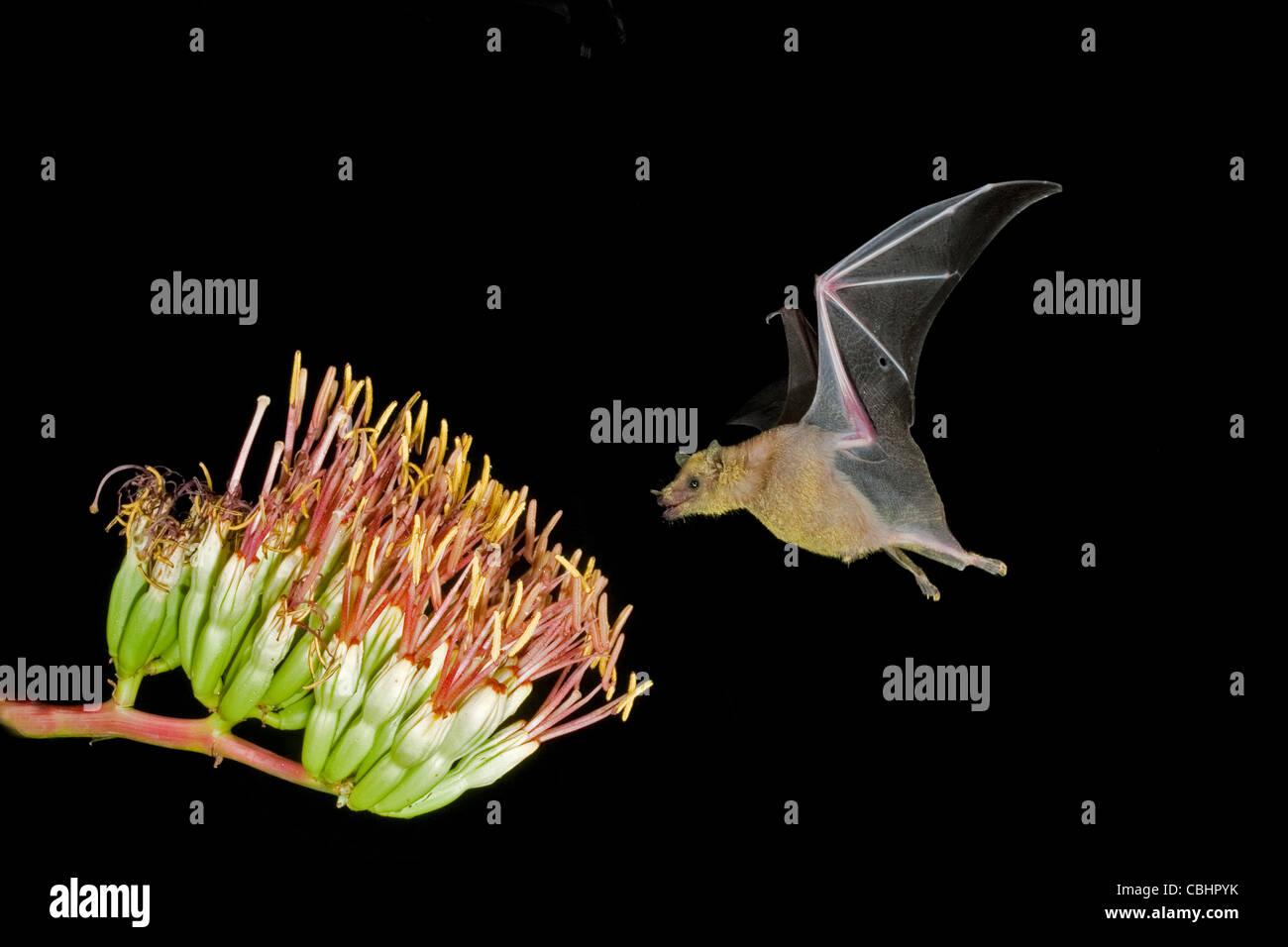 Bec long moindre Bat Leptonycteris curasoae Amado, Arizona, United States 23 août adulte à Parry's fleurs d'Agave. Banque D'Images