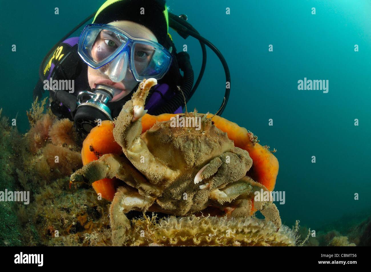Crabe éponge éponge orange report, Dromia personata, Piran, Slovénie, la mer Adriatique Photo Stock