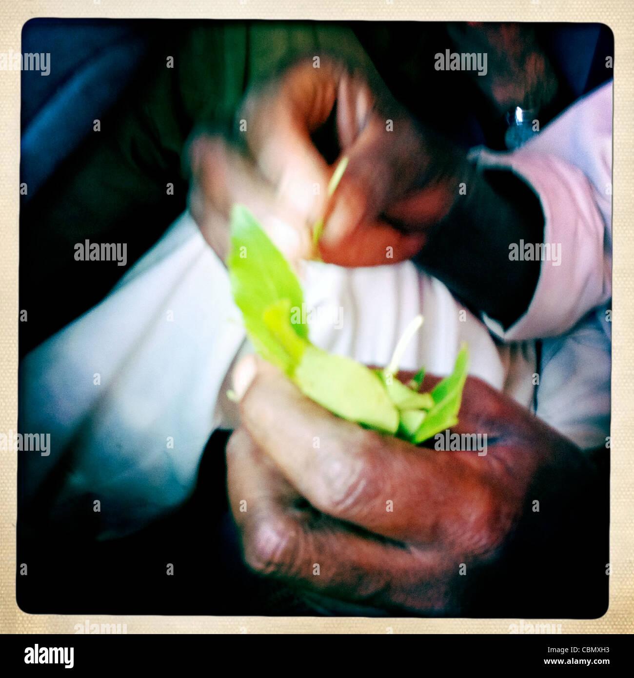 Mains d'un vendeur de Khat somaliland Photo Stock