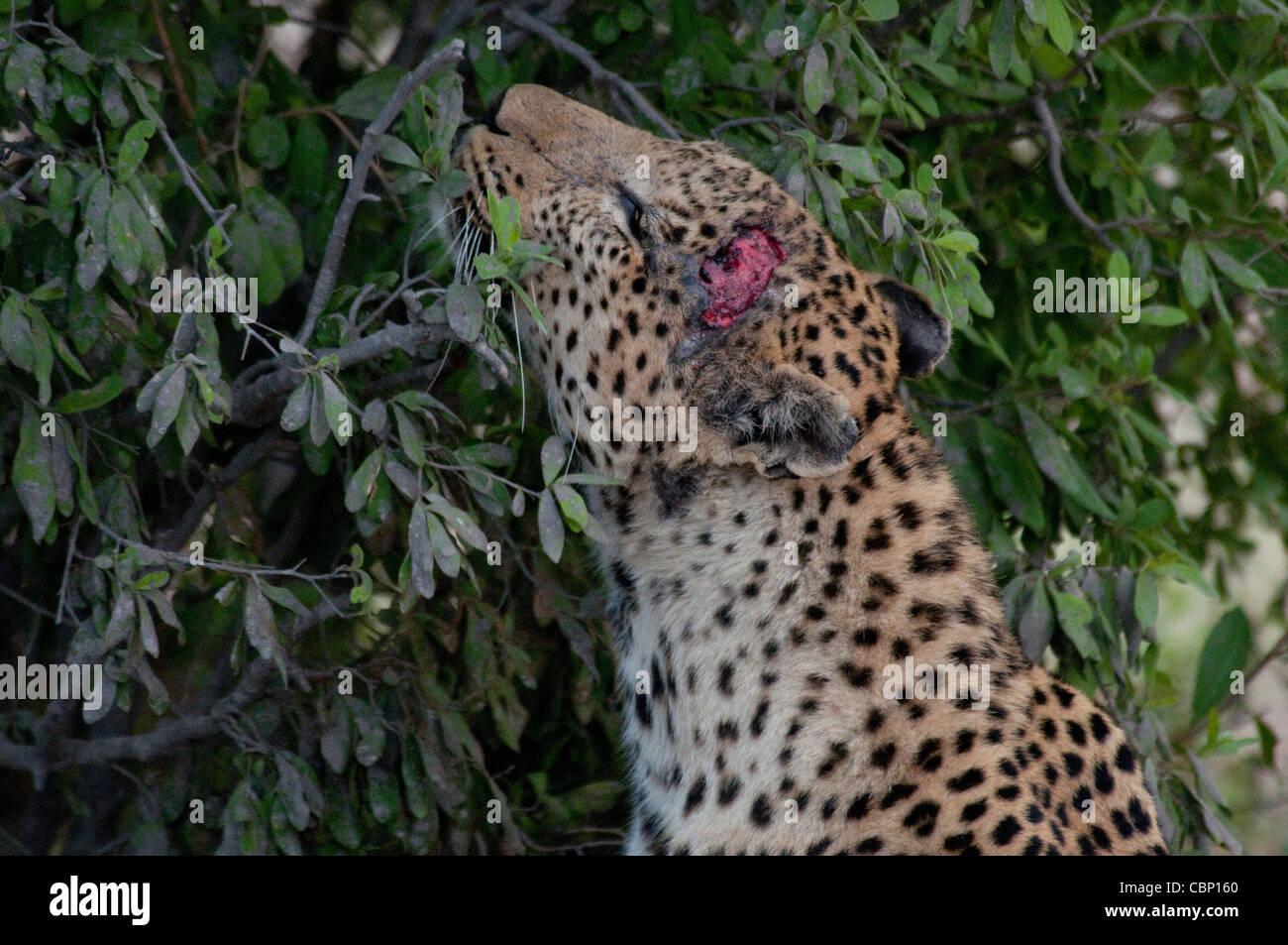 Afrique Botswana Linyanti Reserve-Head shot de leopard montrant un dommage Photo Stock