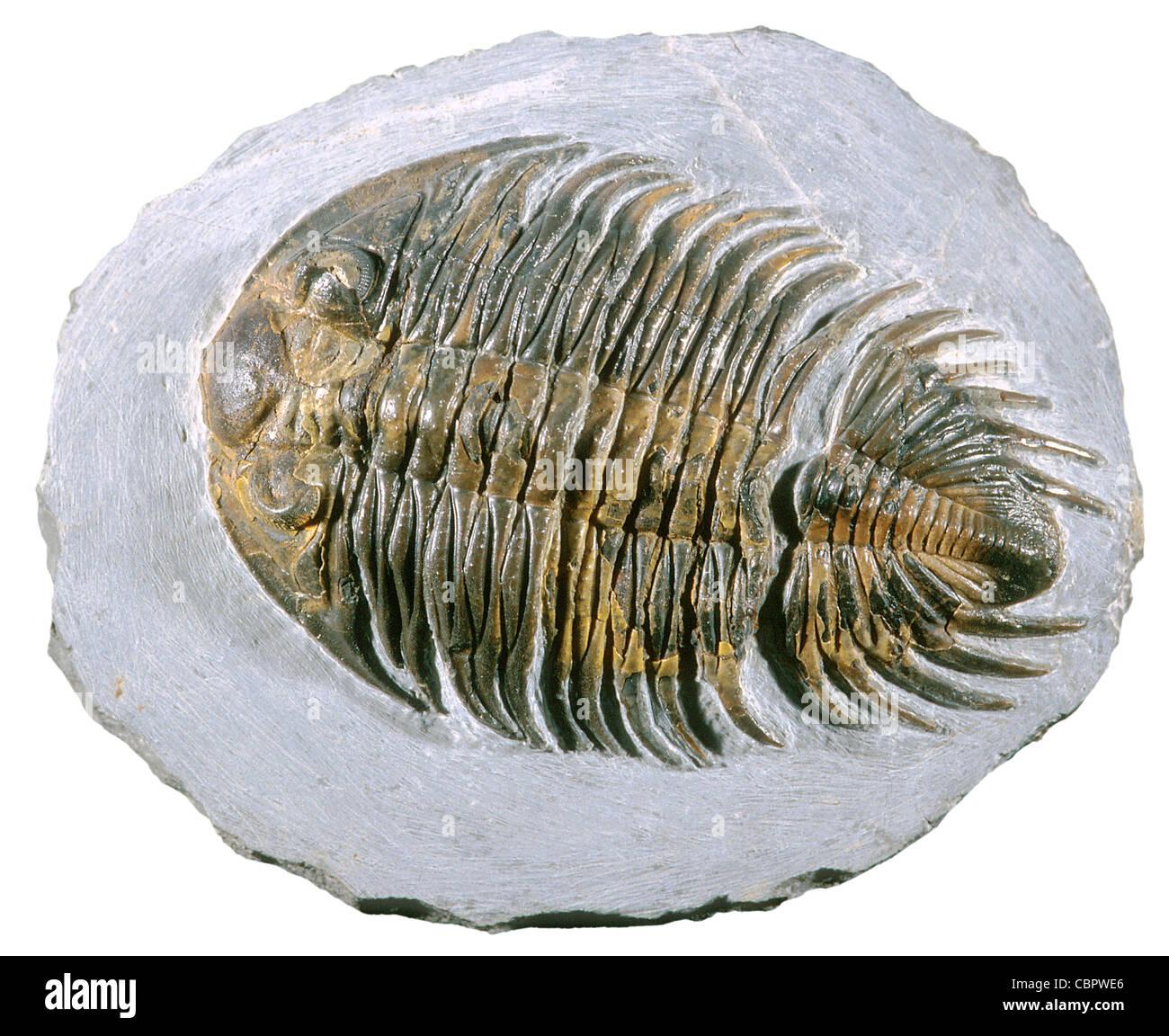 Fossiles de trilobites du Dévonien moyen, Heliopyge, Maroc Photo Stock
