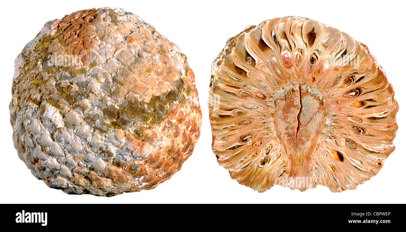 Cône de pin combustibles, Araucaria mirabilis Callovien/Jurassique, Argentine Photo Stock