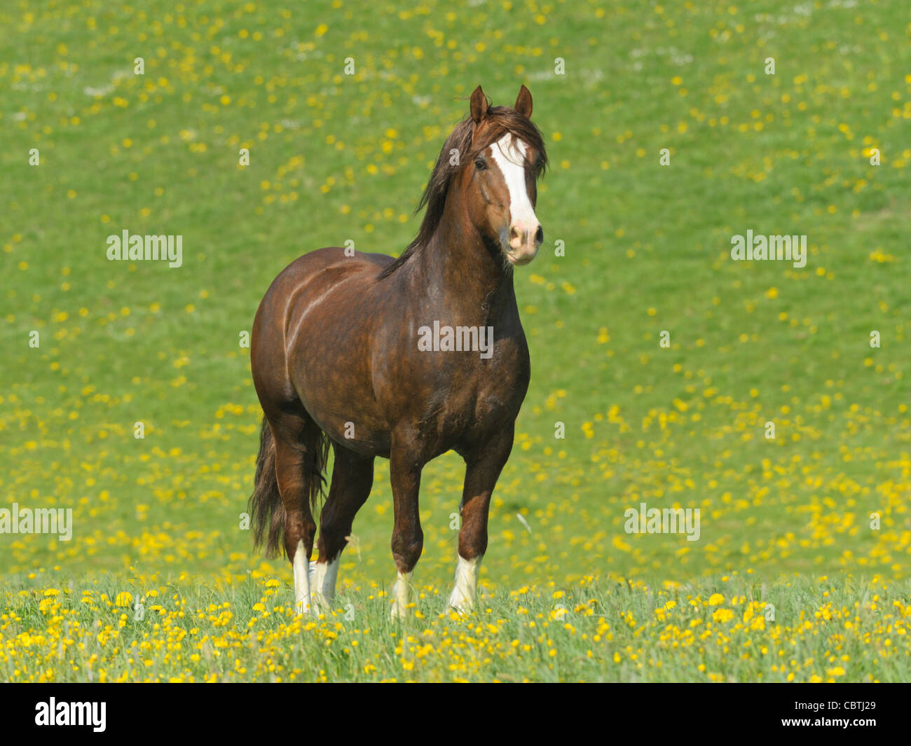 Welsh pony stallion dans le domaine Photo Stock