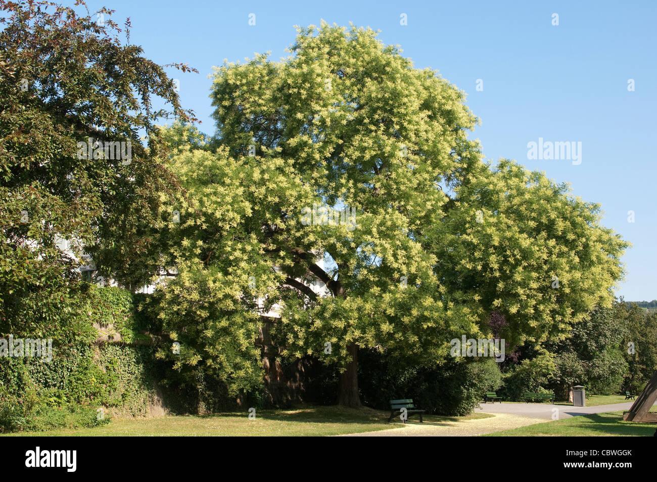 styphnolobium japonicum arbre pagode, sophora japonica), arbre en