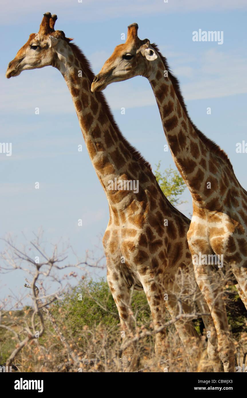 Deux girafes (Giraffa camelopardalis angolensis) dans le parc national d'Etosha, Namibie. Banque D'Images