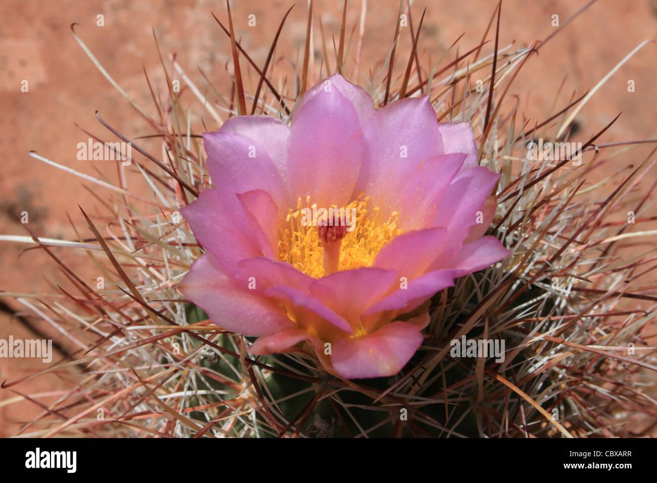 Cactus Flower Photos Cactus Flower Images Alamy
