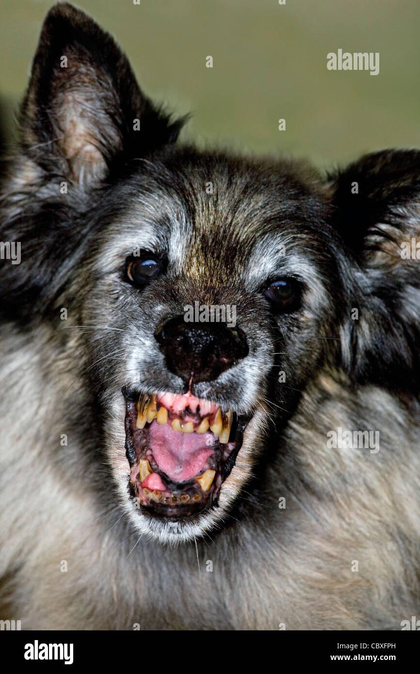 Ancien chien de berger belge Tervuren terrifiant montrant bouche ouverte à laid, dents pourries Banque D'Images