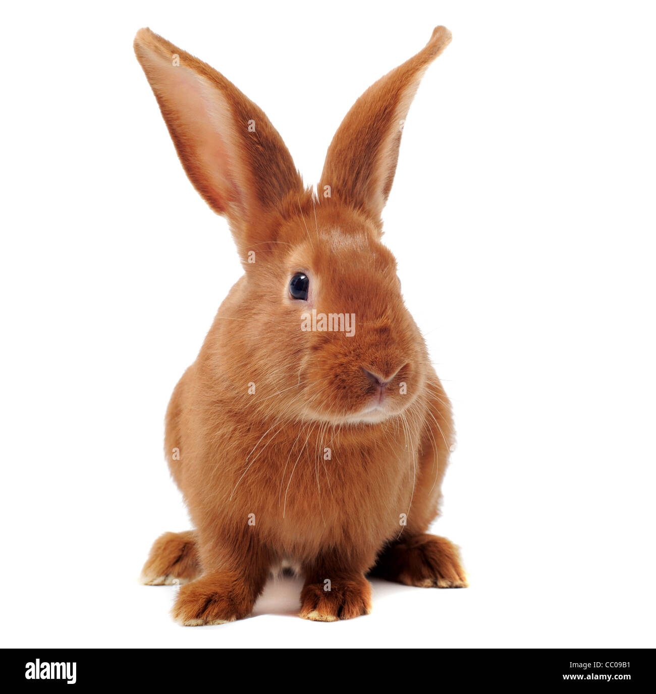 Jeune lapin fauve de Bourgogne in front of white background Photo Stock