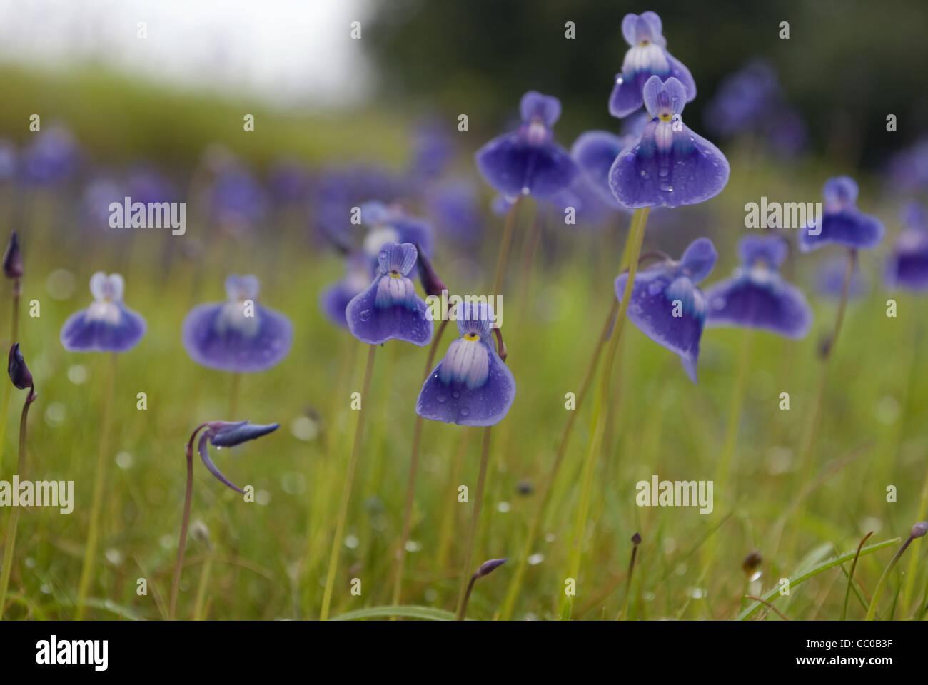Utriculaire pourpre (Utricularia purpurascens) Photo Stock