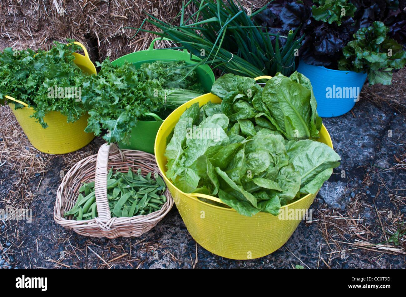 Salade de légumes verts récoltés et pois mange-tout dans du plastique trugs et panier Photo Stock