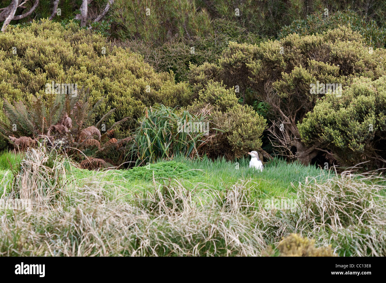 Yellow-eyed penguin (Megadyptes antipodes) sur l'herbe sur l'Île Enderby (NZ) Photo Stock