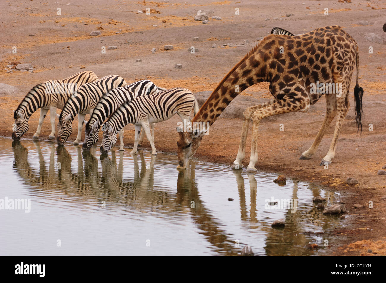 Les zèbres et girafes potable à un trou d'eau. Parc National d'Etosha, Namibie. Photo Stock