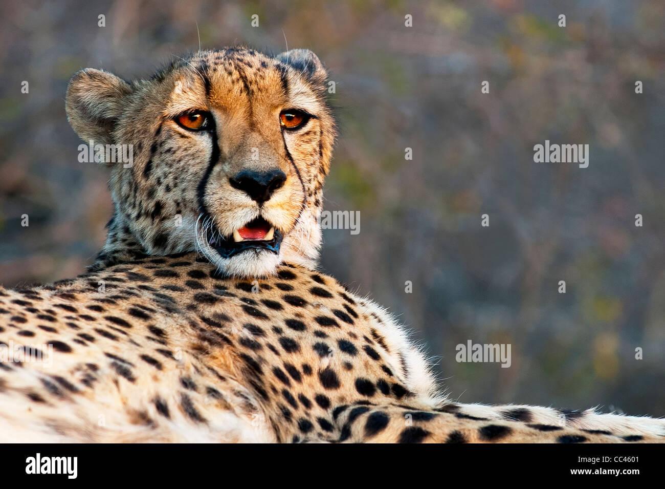 Close up d'un guépard en appui au coucher du soleil Photo Stock