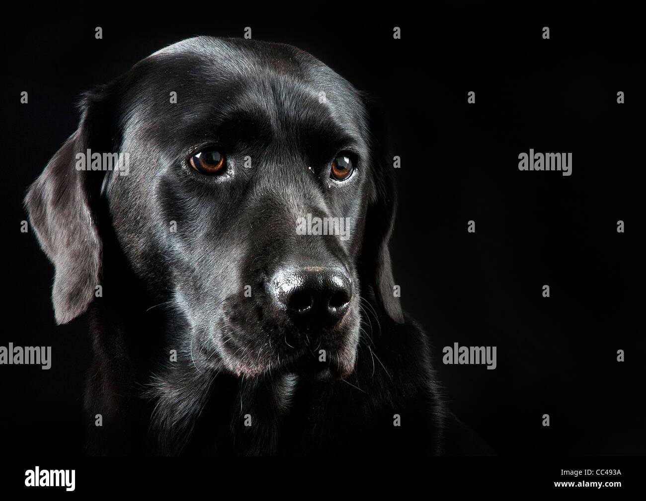 Un Labrador noir avec un fond noir. Photo Stock